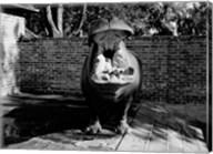 USA, Louisiana, New Orleans, Hippopotamus in zoo yawning Fine-Art Print