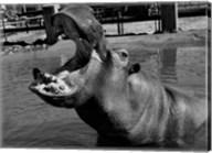 USA, Louisiana, New Orleans, Hippopotamus in zoo Fine-Art Print