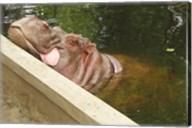 Hipopotam - Warszawskie Zoo Fine-Art Print