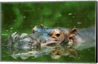 Hippopotamus Surfacing Fine-Art Print
