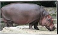 Nijlpaard Fine-Art Print