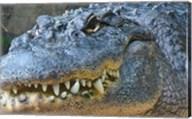Alligator Mississippiensis Fine-Art Print