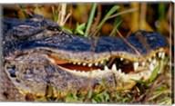 Alligator - close up Fine-Art Print
