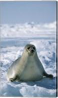 Harp Seal on Ice Fine-Art Print