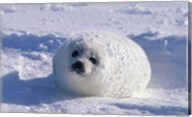 Harp Seal Wrapped in Snow Fine-Art Print