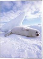 Seal - laying Fine-Art Print
