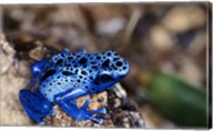 High angle view of a Blue Poison Arrow Frog on a rock Fine-Art Print