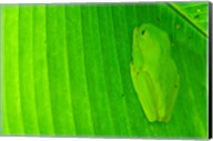 Green frog  hiding on a banana leaf, Costa Rica Fine-Art Print