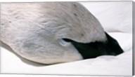 Close-up of Trumpeter Swan (Cygnus buccinator) Fine-Art Print