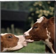 Cow Kiss Fine-Art Print