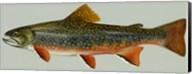 Brook trout Fine-Art Print