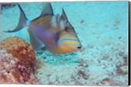 Queen Triggerfish Fine-Art Print