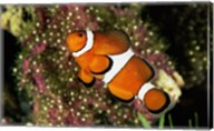 Percula Clownfish Fine-Art Print