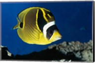 Close-up of a Raccoon Butterfly Fish Swimming Fine-Art Print