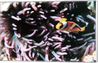 Two banded clown fish Fine-Art Print