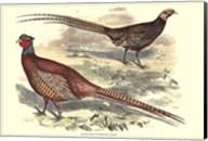 Pheasant Varieties V Fine-Art Print