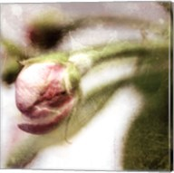 Apple Blossom III Fine-Art Print