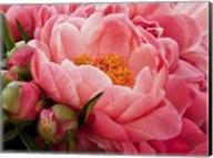 Coral Peonies I Fine-Art Print