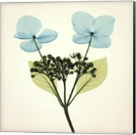 Hydrangea Stem I Fine-Art Print