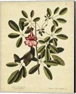 Bahama Sparrow, Pl. T37 Fine-Art Print