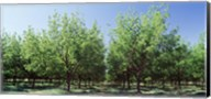 USA, New Mexico, Tularosa, pecan trees Fine-Art Print