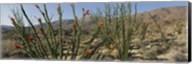 Ocotillo Anza Borrego Desert State Park CA Fine-Art Print