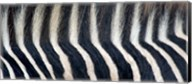 Close-up of a Greveys zebra stripes and mane Fine-Art Print