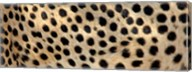 Close-up of the spots on a cheetah Fine-Art Print