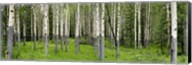 Aspen trees in a forest, Banff, Banff National Park, Alberta, Canada Fine-Art Print