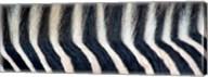 Close-up of a Greveys zebra stripes and mane Fine-Art Print