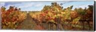 Autumn in a vineyard, Napa Valley, California, USA Fine-Art Print