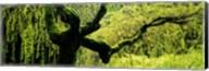 Moss growing on the trunk of a Weeping Willow tree, Japanese Garden, Washington Park, Portland, Oregon, USA Fine-Art Print