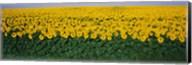 Sunflower Field, Maryland, USA Fine-Art Print