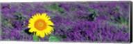 Lone sunflower in Lavender Field, France Fine-Art Print