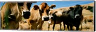 Close Up Of Cows, California, USA Fine-Art Print