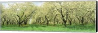 Rows Of Cherry Tress In An Orchard, Minnesota, USA Fine-Art Print