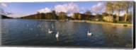 Flock of swans swimming in a lake, Chateau de Versailles, Versailles, Yvelines, France Fine-Art Print