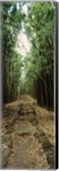 Opening to the sky in a Bamboo forest, Oheo Gulch, Seven Sacred Pools, Hana, Maui, Hawaii, USA Fine-Art Print