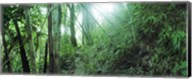 Light through a Bamboo forest, Chiang Mai, Thailand Fine-Art Print