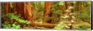 Muir Woods, Trees, National Park, Redwoods, California Fine-Art Print