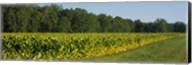 Crop of tobacco in a field, Winchester, Kentucky, USA Fine-Art Print