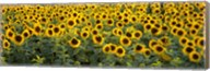 Sunflowers (Helianthus annuus) in a field, Bouches-Du-Rhone, Provence, France Fine-Art Print