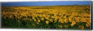 Field of Sunflowers ND USA Fine-Art Print
