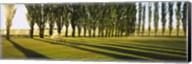 Poplar Trees Near A Wheat Field, Twin Falls, Idaho, USA Fine-Art Print