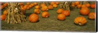 Corn plants with pumpkins in a field, South Dakota, USA Fine-Art Print