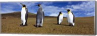 Four King penguins standing on a landscape, Falkland Islands (Aptenodytes patagonicus) Fine-Art Print