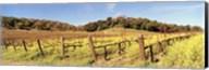 Mustard Flowers in a Field, Napa Valley, California Fine-Art Print