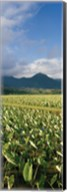 Taro crop in a field, Hanalei Valley, Kauai, Hawaii, USA Fine-Art Print