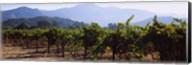 Grape vines in a vineyard, Napa Valley, Napa County, California, USA Fine-Art Print