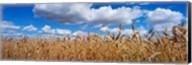 Wheat crop growing in a field, near Edmonton, Alberta, Canada Fine-Art Print